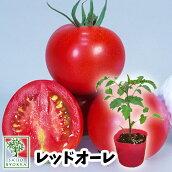 野菜苗中玉トマトフルーティレット