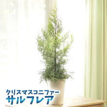 クリスマスコニファーサルフレア苗高さ80センチオシャレクリスマスツリー