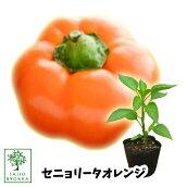 野菜苗ピーマンフルーツパプリカセニョリータオレンジ苗