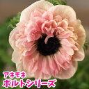 アネモネ ポルトシリーズ 八重【花苗】【球根植物】【多年草】