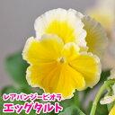 花苗 ビオラ エッグタルトさとう園芸 1POT 残りわずか 幸せを呼ぶビオラ