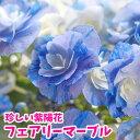 30鉢限定!アジサイ 鉢花 アジサイ フェアリーマーブル 5号鉢【送料無料】【カゴラッピングなし】【2021年5月状態良好!】珍しい紫陽花
