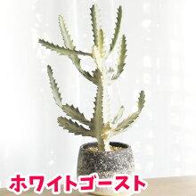 【観葉植物】【人気】ユーフォルビアホワイトゴースト陶器鉢入り