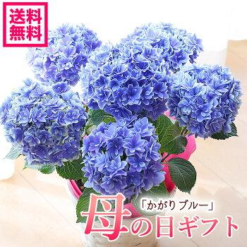 母の日アジサイ達人のアジサイ紫陽花かがりブルー鉢花