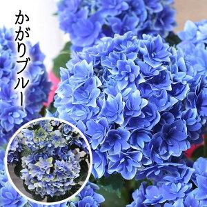 アジサイ かがりブルー 鉢花 あじさい 紫陽花 達人のアジサイ 紫陽花 かがりブルー 鉢花 自分用 秋色アジサイ 【花終わり】【送料無料】