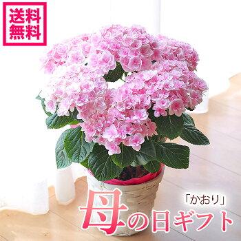 母の日アジサイ達人のアジサイ紫陽花かおり鉢花