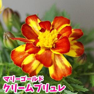 花苗 マリーゴールド クリームブリュレ【一年草】