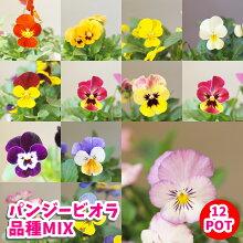 パンジービオラ苗広島県産9cmポットいろいろミックス12POT
