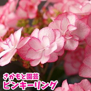 アジサイ 鉢花 アジサイピンキーリング 5号鉢 【送料無料】【咲き進み・痛みあり】珍しい紫陽花