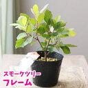 【落葉花木】スモークツリー フレーム