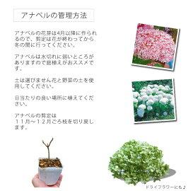 ライムのアナベルアメリカアジサイ15cmPOT最新品種!!