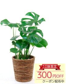 ◆週末限定クーポン配布中◆観葉植物 ヒメ モンステラ 6号 鉢カバー付 セット インテリア 開店祝い 大型 おしゃれ お祝い