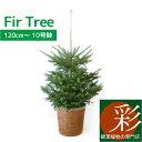 もみの木 鉢植え 120cm〜 10号鉢 本物 志向の クリスマスツリー 北欧 おしゃれ (モミの木、樅の木、モミノキ、もみのき、屋外用) 【…