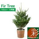 もみの木 鉢植え 150cm〜 10号鉢 本物 志向の クリスマスツリー 北欧 おしゃれ (モミの木、樅の木、モミノキ、もみの…