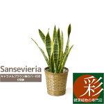 サンスベリア・ローレンティー6号鉢鉢カバー付大型お祝い開店祝い新築祝い母の日