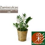 ザミオクルカス・ザミフォーリア6号鉢鉢カバー付大型お祝い開店祝い新築祝い母の日
