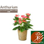 観葉植物アンスリウムロイヤルピンクチャンピオン6号鉢キャラメルブラウン鉢カバー付アンスリューム母の日