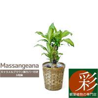 ドラセナ・マッサンゲアナ(幸福の木)6号鉢キャラメルブラウン鉢カバー付大型お祝い開店祝い新築祝い