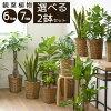 選べる2サイズ、まとめ買い!8号+6号鉢植物