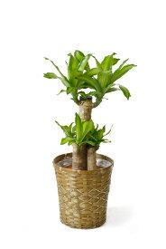 ドラセナ・マッサンゲアナ(幸福の木) 6号鉢 キャラメルブラウン鉢カバー付【即日発送可・あす楽・急なギフトに】大型 お祝い 開店祝い 新築祝い
