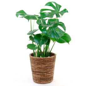 観葉植物 ヒメ モンステラ 6号 鉢カバー付 セット インテリア 開店祝い 大型 おしゃれ お祝い
