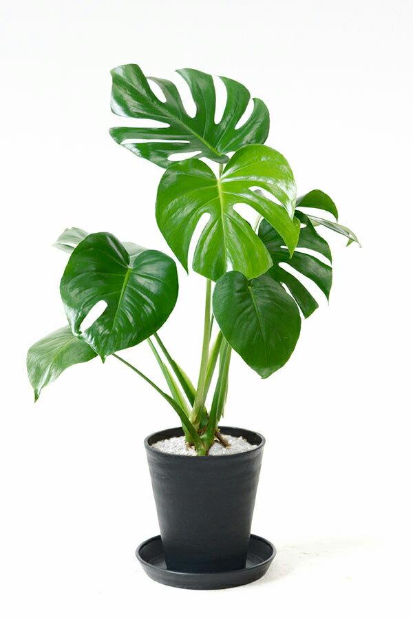 観葉植物 ヒメ モンステラ 6号 セラアート鉢 大型 インテリア 開店祝い お祝い 新築祝い 父の日