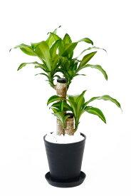 観葉植物 ドラセナ・マッサンゲアナ(幸福の木) セラアート鉢 6号鉢 大型 インテリア 開店祝い お祝い 新築祝い ブラック ホワイト セラート鉢