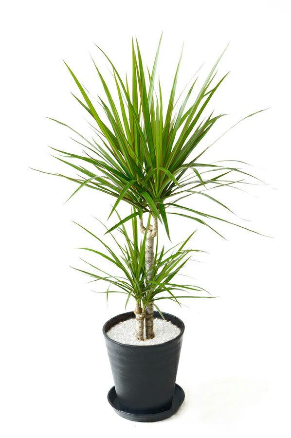 観葉植物 ドラセナ・マルギナータ(コンシンネ) 6号 セラアート鉢 大型 インテリア 開店祝い お祝い 新築祝い