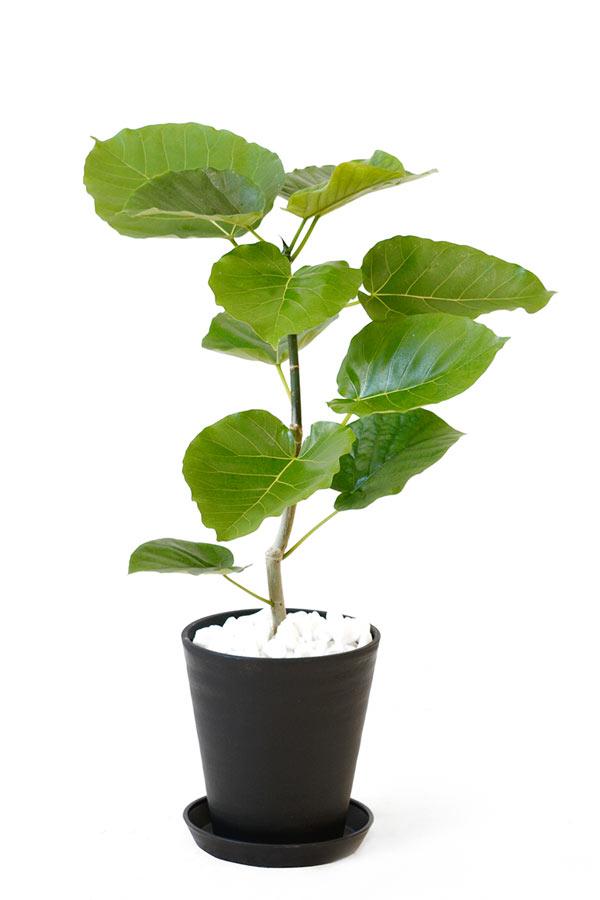 観葉植物 フィカス・ウンベラータ 6号 セラアート鉢 大型 インテリア 開店祝い お祝い 新築祝い 父の日