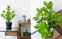 観葉植物クルシア・ロゼア6号セラアート鉢大型インテリア開店祝いお祝い新築祝い