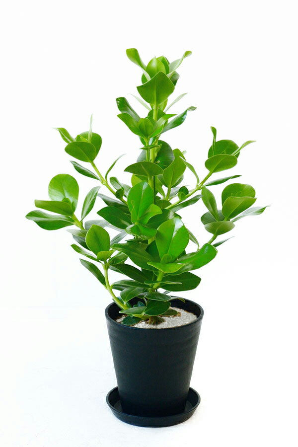 観葉植物 クルシア・ロゼア 6号 セラアート鉢 大型 インテリア 開店祝い お祝い 新築祝い 母の日