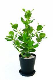 観葉植物 クルシア・ロゼア セラアート鉢 6号鉢 大型 インテリア 開店祝い お祝い 新築祝い おしゃれ ブラック ホワイト セラート鉢