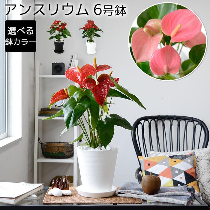 アンスリウム アンスリューム ダコタ ピンクチャンピオン セラアート鉢 観葉植物 アンスリウム 母の日