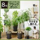 観葉植物 選べる8号 ブラックラウンドポット セラート鉢 セラアート鉢 パキラ サンスベリア ポトス ユッカ レモンラ…