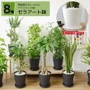 観葉植物 選べる8号鉢 セラアート鉢 パキラ サンスベリア ポトス ユッカ ガジュマル シルクジャスミン 大型 おしゃれ インテリア 開店…