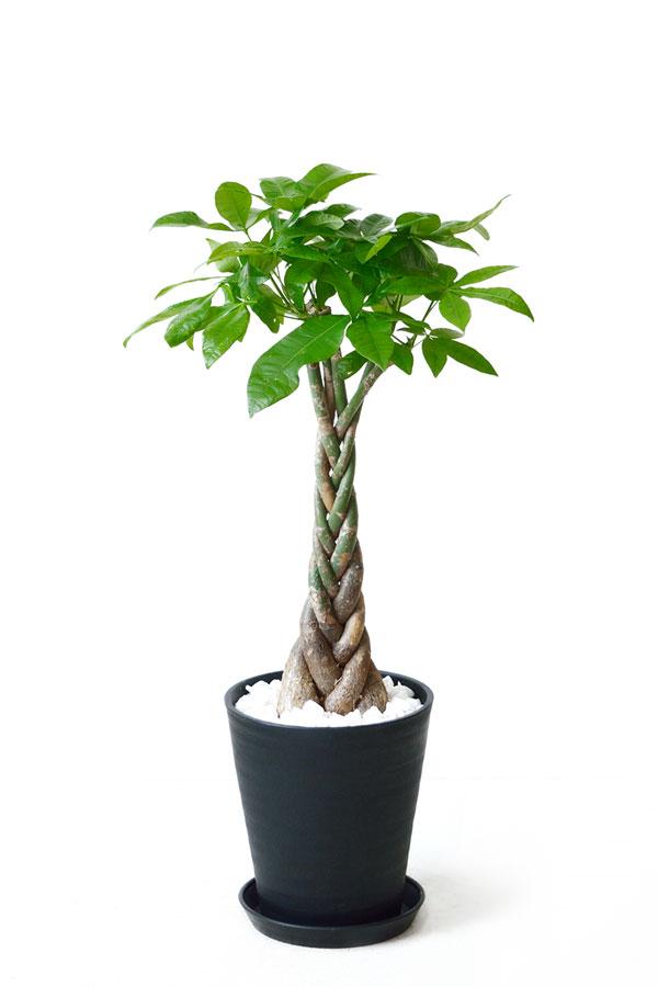 観葉植物 パキラ 8号 セラアート鉢 大型 インテリア 開店祝い おしゃれ 母の日