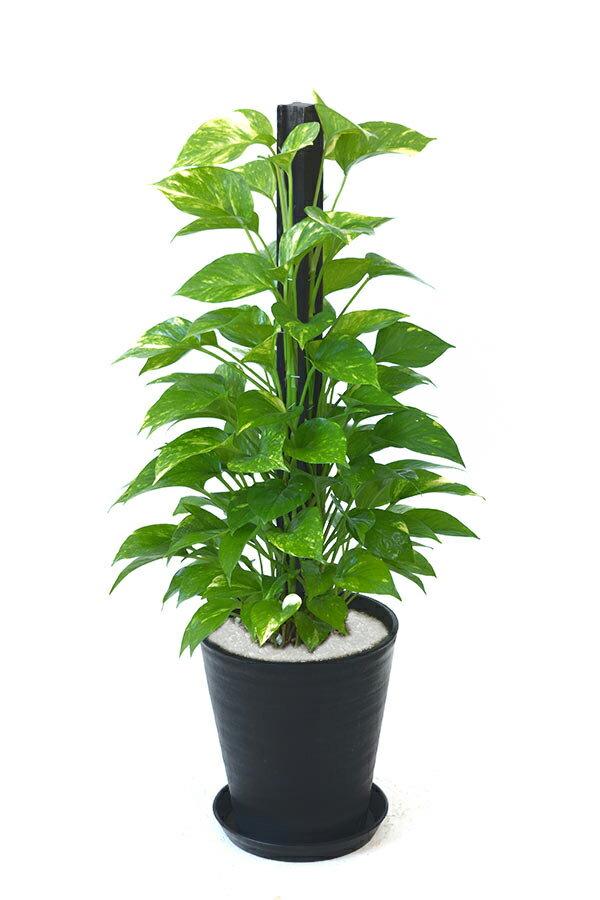 観葉植物 ポトス ヘゴ仕立て 8号 セラアート鉢 大型 インテリア 開店祝い お祝い 新築祝い 母の日