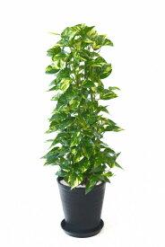 観葉植物 ポトス タワー仕立て セラアート鉢 8号鉢 大型 インテリア 開店祝い お祝い 新築祝い ブラック ホワイト セラート鉢