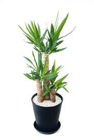 観葉植物 ユッカ・エレファンティペス セラアート鉢 8号鉢 大型 インテリア 開店祝い お祝い 新築祝い ブラック ホワイト セラート鉢