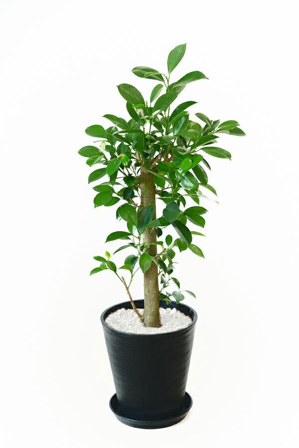 観葉植物 ガジュマル(直幹) 8号 セラアート鉢 大型 インテリア 開店祝い お祝い 新築祝い フィカス属 父の日