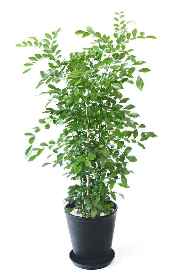観葉植物 ゲッキツ(シルクジャスミン) 8号 セラアート鉢 大型 インテリア 開店祝い お祝い 新築祝い 父の日