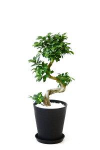 観葉植物ガジュマル(昇り竜)8号セラアート鉢大型インテリア開店祝いお祝い新築祝い