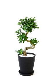 観葉植物 ガジュマル(昇り竜) セラアート鉢 8号鉢 大型 インテリア 開店祝い お祝い 新築祝い フィカス属 ブラック ホワイト セラート鉢