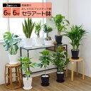 観葉植物 2鉢セット 6号+6号 セラアート鉢 ヒメモンステラ サンスベリア 幸福の木 ウンベラータ ガジュマル おしゃれ インテリア ブラ…