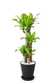 観葉植物 幸福の木 セラアート鉢 8号鉢 (Lサイズ) 大型 インテリア 開店祝い お祝い 新築祝い ブラック ホワイト セラート鉢