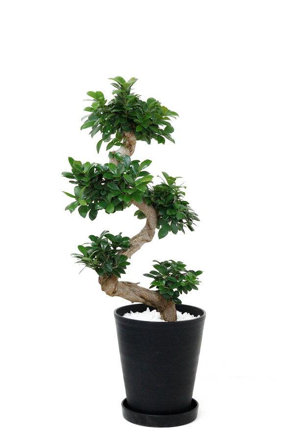 ガジュマル(昇り竜タイプ) 10号セラート鉢 大型 観葉植物 インテリア アジアン 引越し祝い 開店祝い 新築祝い お祝い * 観葉植物 開店祝いに