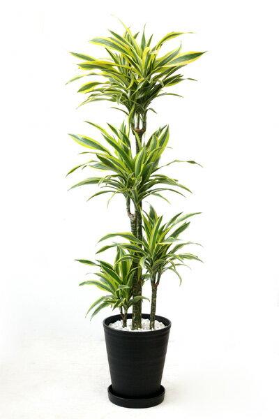 観葉植物ドラセナ ワーネッキー レモンライム 10号セラアート鉢 大型 インテリア おしゃれ 引越し祝い 新築祝い 観葉植物 開店祝いに 父の日