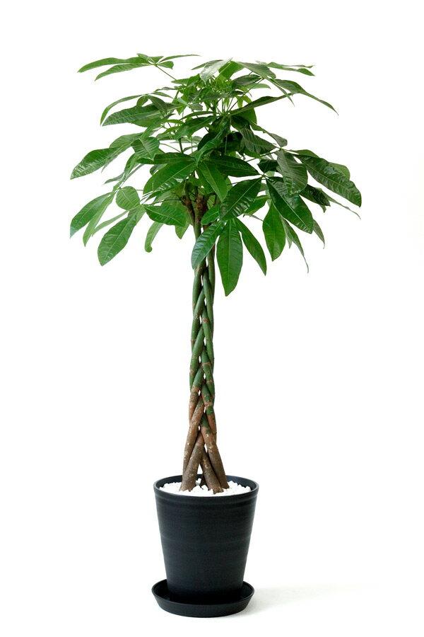 観葉植物 パキラ 10号 セラアート鉢 大型 インテリア 開店祝い お祝い 新築祝い 観葉植物 パキラ 父の日