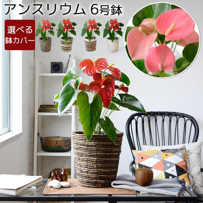 アンスリウム アンスリューム 鉢カバー付 観葉植物 父の日