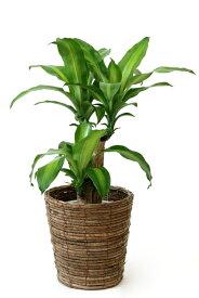 観葉植物 幸福の木 6号鉢 選べる4色の鉢カバー付 送料無料 インテリア アジアン 引越し祝い 開店祝い 新築祝い お祝い ドラセナ 父の日